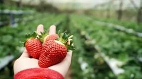 Raju's Hill Strawberry Farm